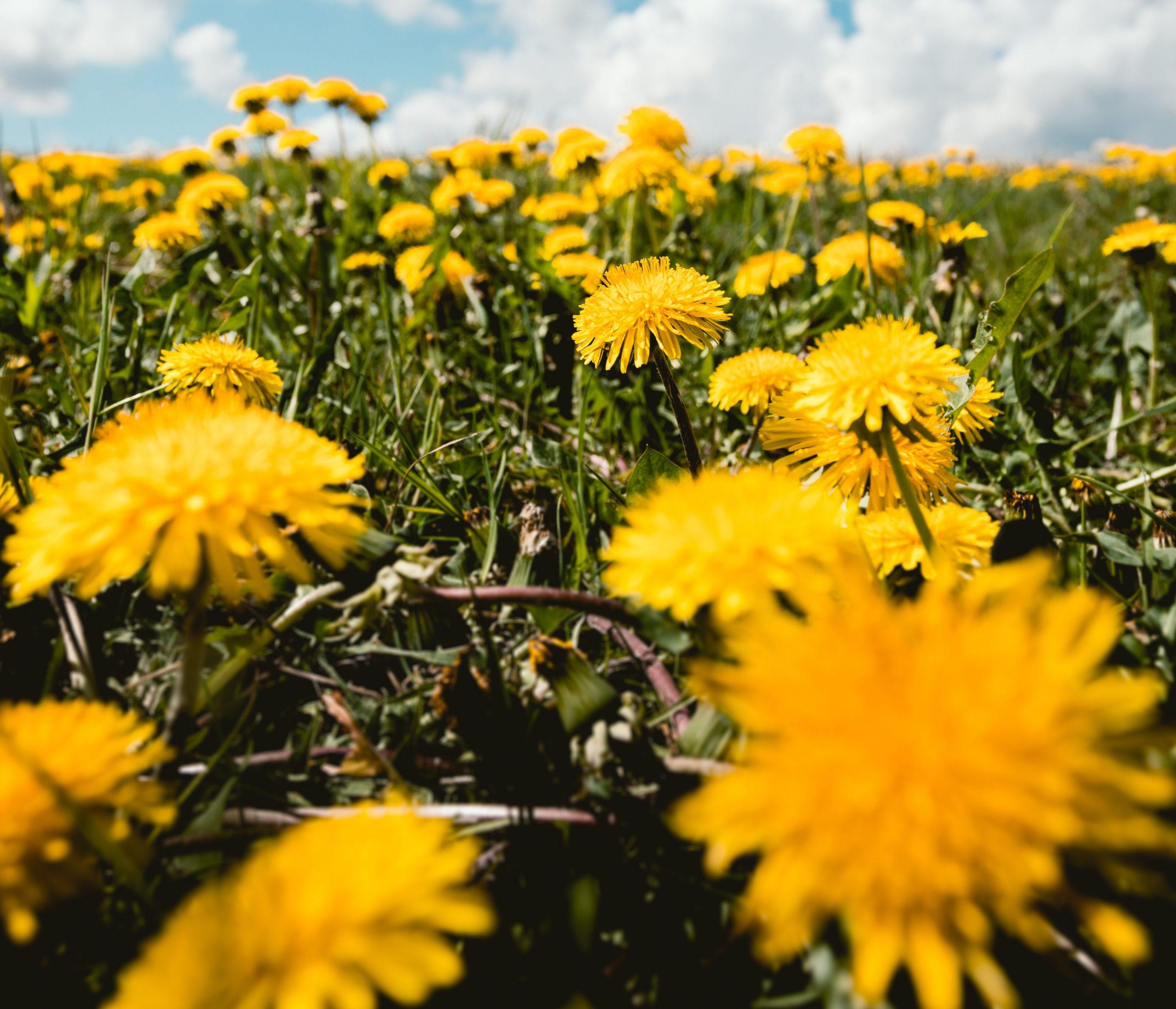 Viele gelbe Löwenzahn Blüten auf einer grünen Wiese, im Hintergrund blauer Himmel